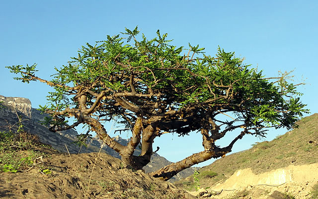 Holy Ghost! Frankincense KILLS Cancer!