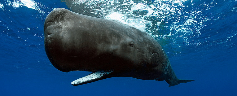 Nautilus Live Captures Rare Deep Sea Sperm Whale Footage