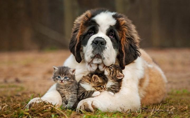 Cute And Funny Cat Wallpaper Saint Bernard Puppy Hugs Newborn Three Little Kittens
