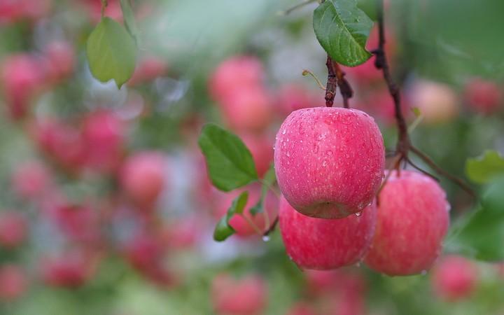 Nachural Wallpaper Full Hd Branch Leaves Fruit Apple Rose Drops Of Water After Rain