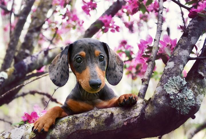 Cute Sakura Wallpaper Dog In Spring Wallpaper By Lise Revelwallpapers Net