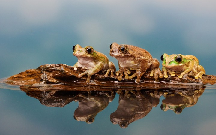 Animal Wallpaper For Home Five Frogs On A Log Wallpaper By Amandavangeer