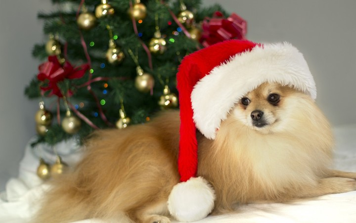 Cute Pet Animals Hd Wallpapers German Spitz Dog With Christmas Hat Wallpaper By Ladygaga