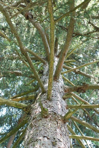 evergreen #2