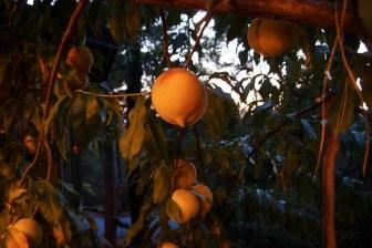 Peach tree next to the house