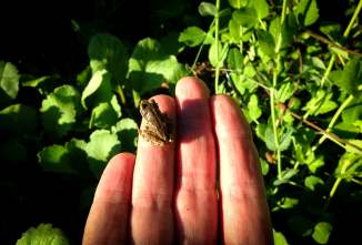 Juvenile green tree frog