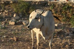 Sacredly Sassy Cow