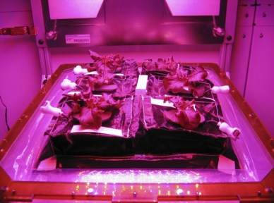 Une version prototype de Veggie avec des plantes de laitue romaine rouge (source : NASA / Gioia Massa)