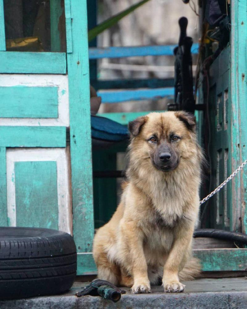 Chú chó tinh nghịch được ngư dân nuôi ở làng chài Vung Viêng