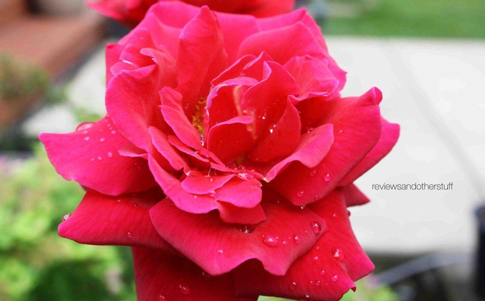 rosa mister lincoln