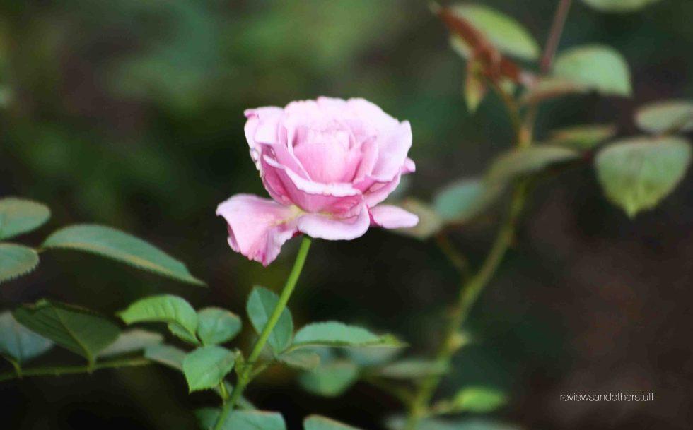 rosa sweetness