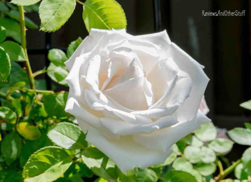 frau karl druschki rose
