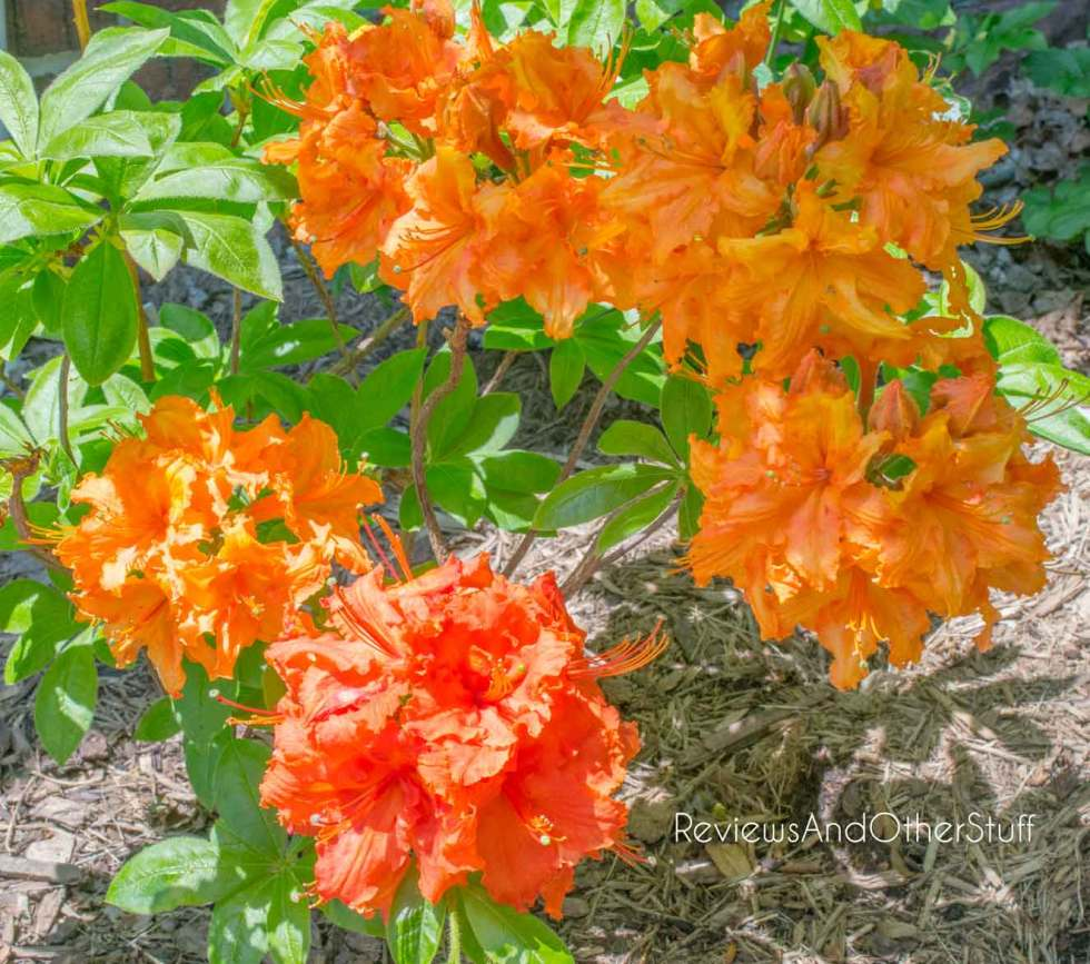 growing gibraltar orange azalea