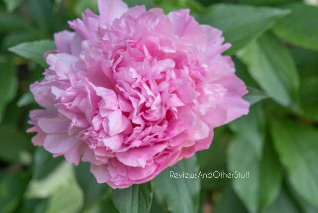 sarah bernhardt pink peony