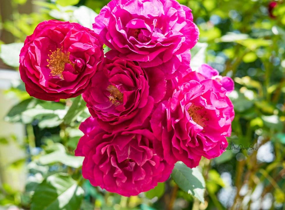 Wild Blue Yonder Roses