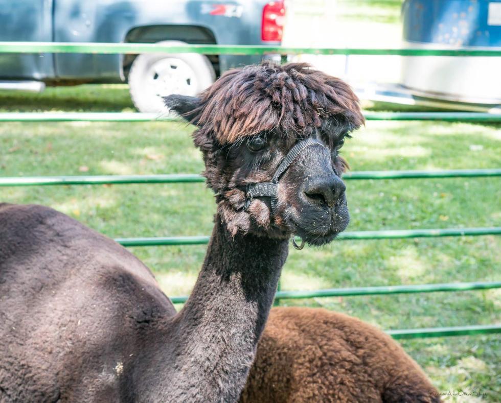 volant pa kester's alpaca