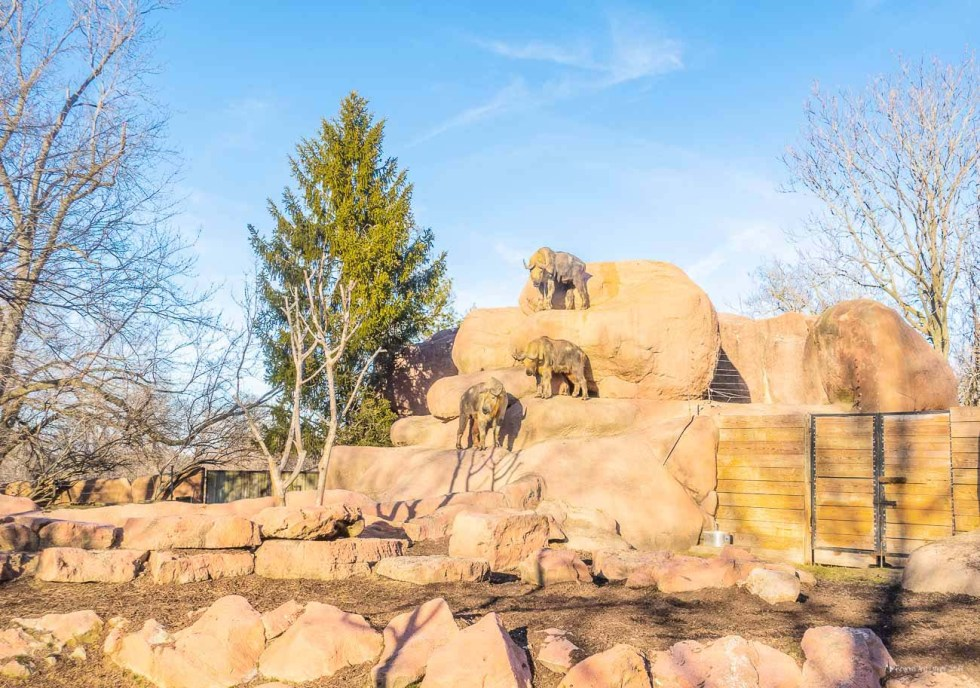 st. louis zoo buffalos