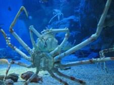 Spider crab. Osaka Aquarium. Japan, January 2013