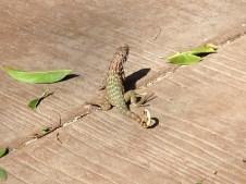 Куба - ящерка