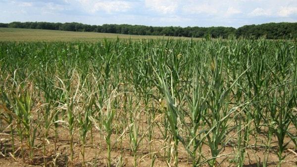 Drought stressed maize. Image by Missouri.edu