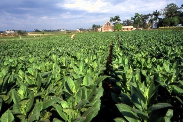 Tobacco field. Image credit MediaWiki