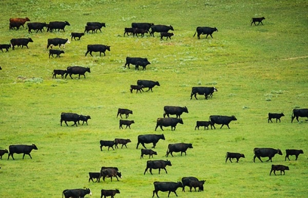 Cattle grazing. Image credit nature.org
