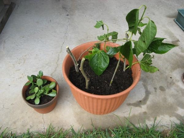 Growing mulberry cuttings. Image credit wordpress.com
