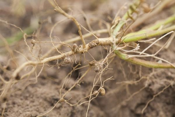 Nitrogen fixing roots in legumes. Image credit MediaWiki