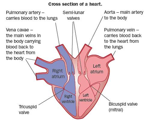 unlabeled heart diagram cross section hopkins 7 blade trailer connector wiring the gcse revision biology physiology transport animals 0 search form