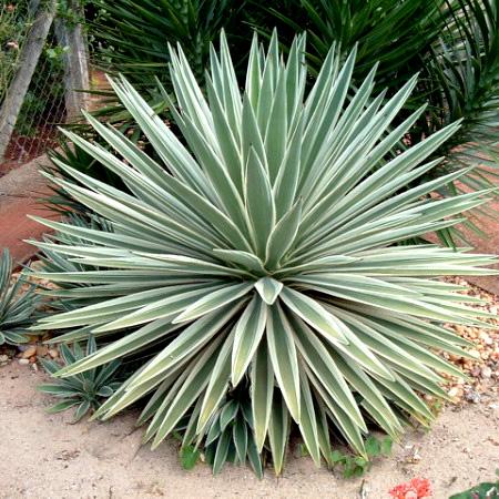 Agaves mezcaleros: espadín o angustifolia