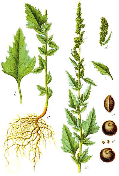 el epazote, hierba aromática mexicana
