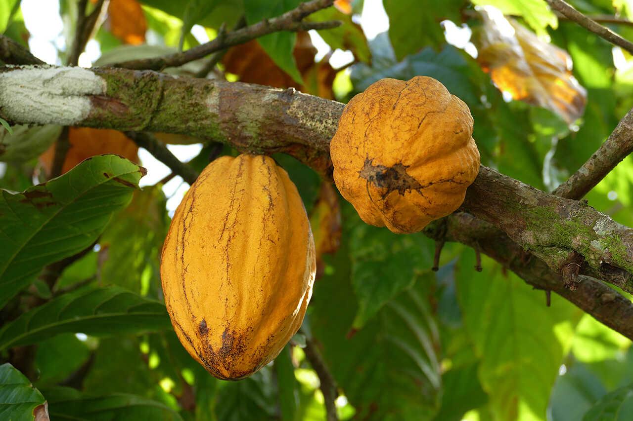 Boabele de cacao: cum se consumă?