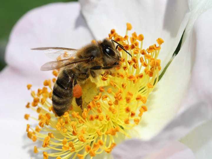 polenul-beneficii-sanatate