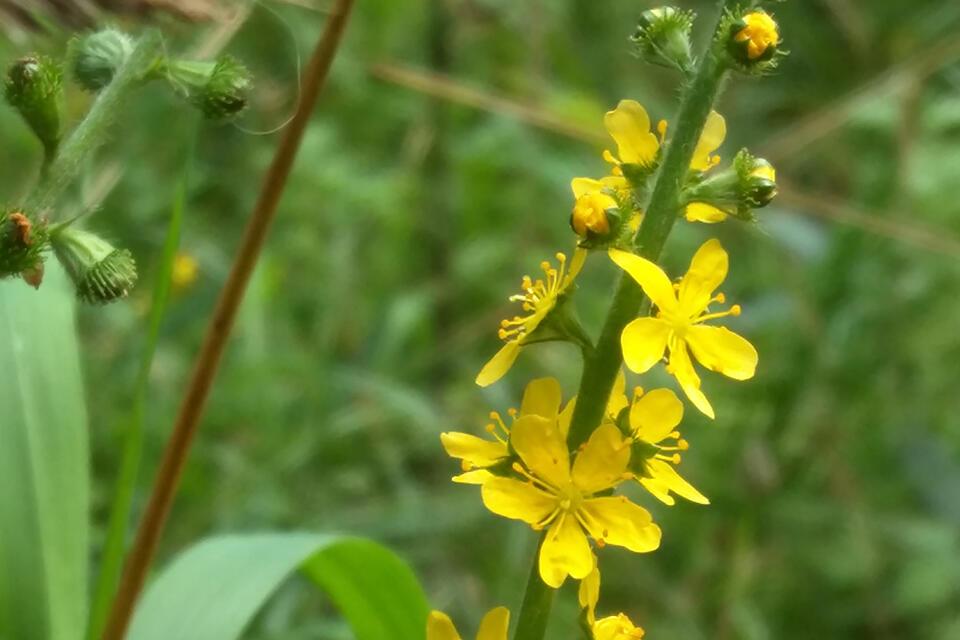 Turiţa mare: o plantă medicinală pe care ar trebui să o cunoști