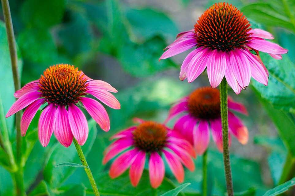 Echinaceea: 5 beneficii ale unei super-plante