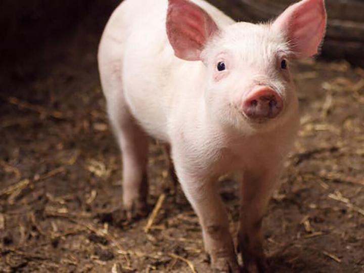 rinichi-de-porc-transplantat