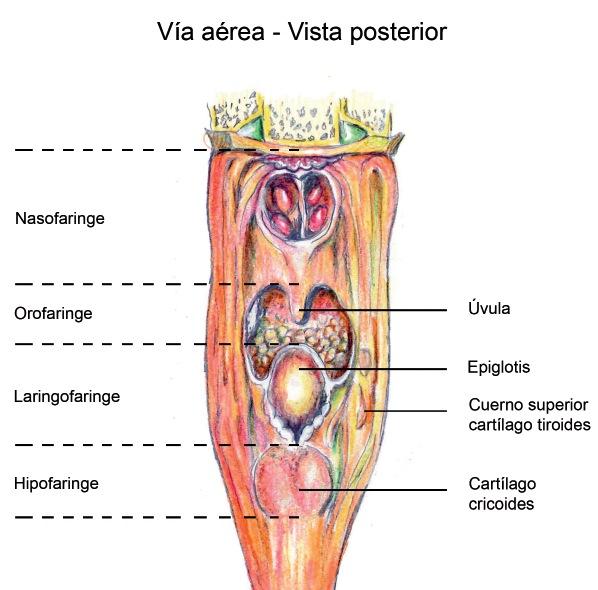 ANATOMÍA DE LA VÍA AÉREA - Revista Chilena de Anestesia