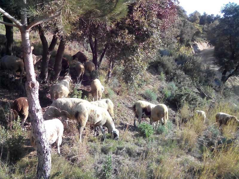 El rebaño que pasta en los bosques de Teià