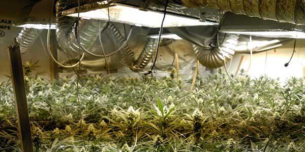 La plantacióne staba formada por 700 plantas
