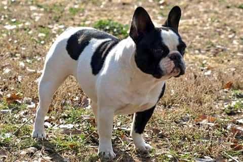 El Bulldog francés desaparecido en Arenys de Munt. Foto: Animals del Maresme