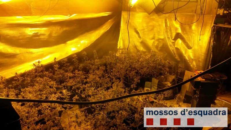 Imagen de la plantación descubierta por los Mossos