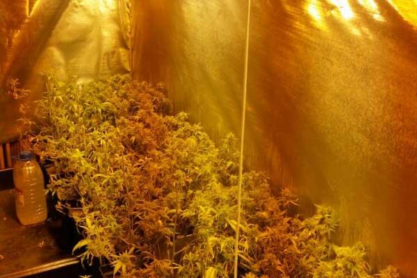 Dos de los detenidos cultivaban marihuana