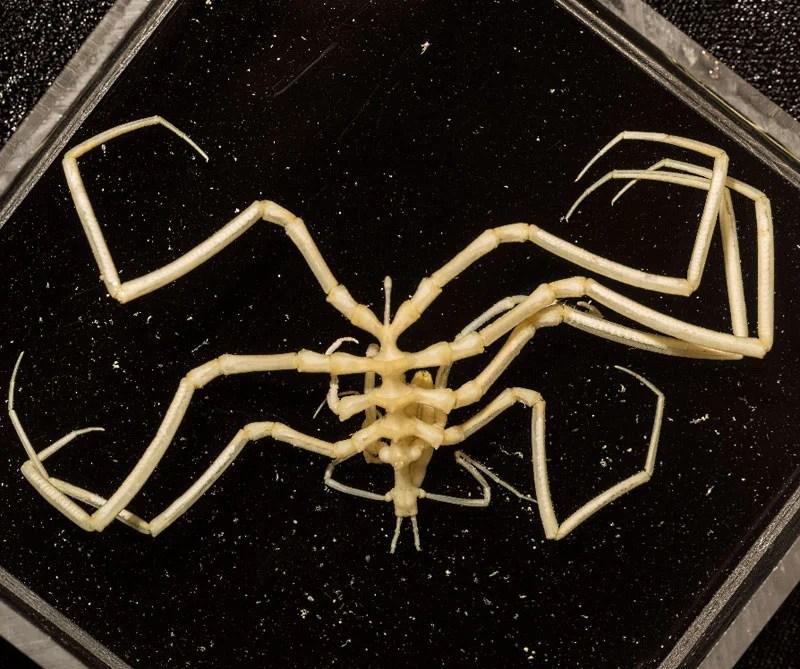 Arañas marinas. Foto: Victoria Museums / CSIRO