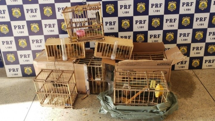 Vídeo: PRF resgata pássaros transportados irregularmente em ônibus interestadual na BR-116