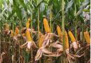 Bayer realiza semana especial para debater a produção de milho