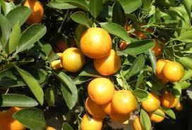 Avanzan las capacitaciones para exportar limones a Estados Unidos
