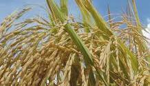 Brasil establece criterios para la cuota de importación de arroz.