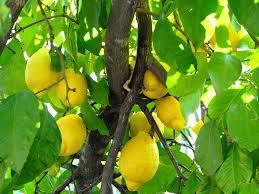 Luego de 17 años, partió el primer embarque de limones argentinos a Estados Unidos