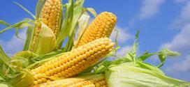 Récord de exportaciones de maíz: 16,3 millones de toneladas.