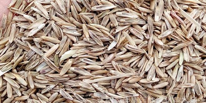 La exportación argentina de semillas de raigrás volvió a registrar un nuevo récord histórico
